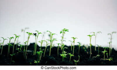 Small green plant growing, isolated on white, springtime...