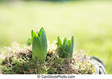 Small green plant shoots growing in natural light