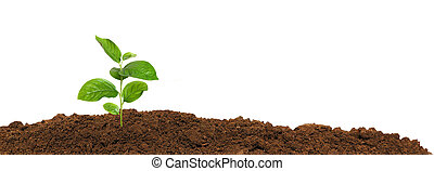 small green seedling in the ground, isolated - small green...