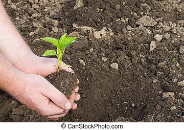 seedling pepper in hand on the background of the soil