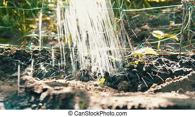 Small green sprout cucumber sprout in ground, which are...