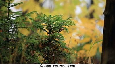 small green spruce close to - small green spruce in the ...
