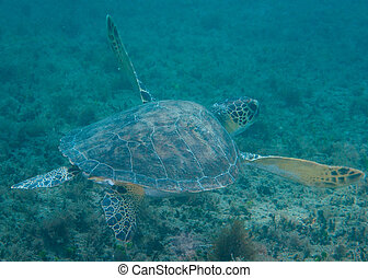 Small Green Turtle swimming over a reef.