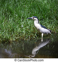 Small Grey Heron in the pond