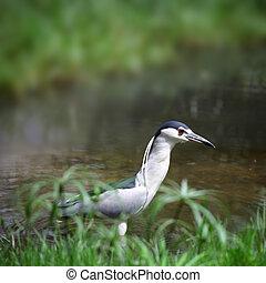 Small Grey Heron