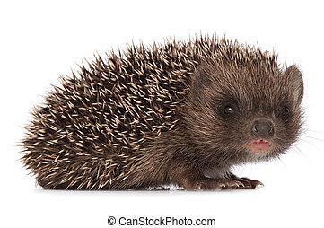 hedgehog - small grey prickly hedgehog looks at me