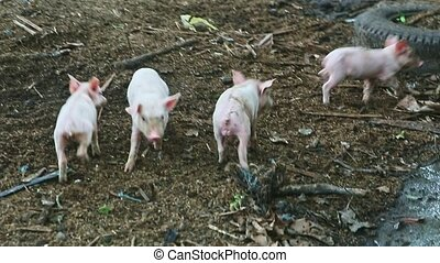 small group of four little pink domestic piglets play and run together in dirty swine paddock at farm