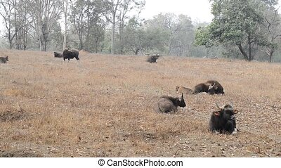 small group of gaurs or Indian bison who rests on a small...