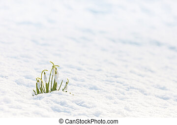 Small group of snowdrops in a winter landscape
