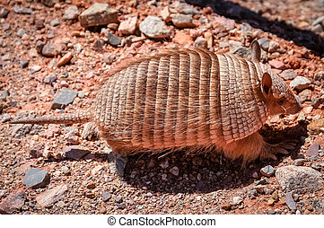 Small hairy armadillo running on the ground in dry north - ...