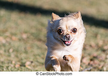 Small healthy chihuahua dog in run