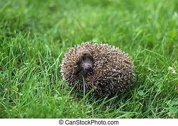 Small hedgehog in a ball