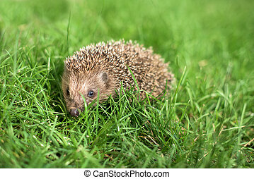 Small hedgehog in a grass
