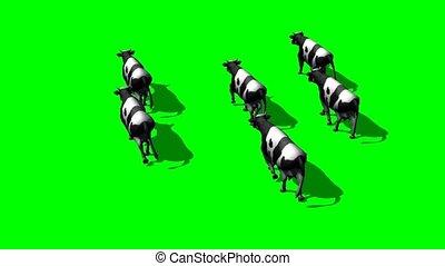 small herd cows run - green screen