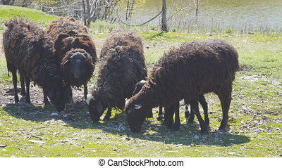 Small herd of black sheep graze on the shore of the lake. Camera panning