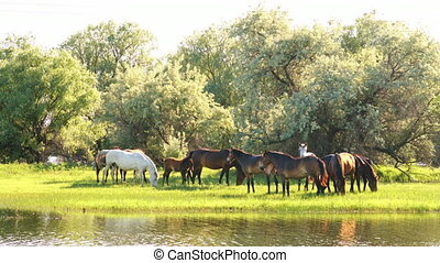 Small herd of horses and foals grazing in meadow near the...