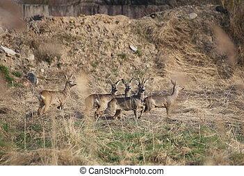 Small Herd Of Roe Deer