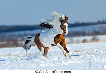 Small horse running in the snow in field in winter...