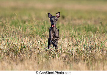 small Hound dog run in field