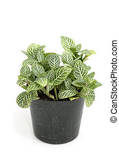 Small house plant in black pot, isolate on white