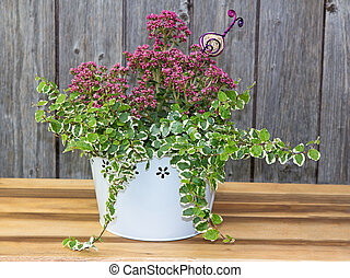 Small houseplant in white bucket - Small box-like houseplant...