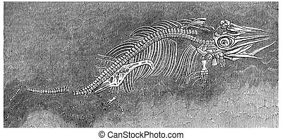 Small ichthyosaur fossil preserved in the womb of his...