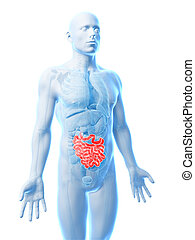Small intestine - 3d rendered illustration of the small ...