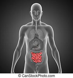 Small intestine