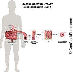 Small intestine lining anatomy, a fold of the intestinal ...