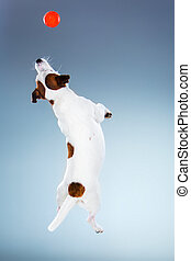 Small Jack Russell Terrier jumping high - Small Jack Russell...
