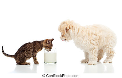 Small kitten and dog craving the same milk - isolated