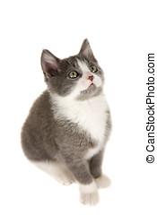 Small kitten - Cute grey kitten sitting on white background...