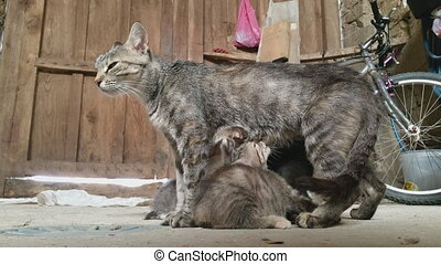 Small kitten feeding in old yard - Closeup view of small...
