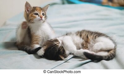 small kitten itches flea scabies. two cute itches little...