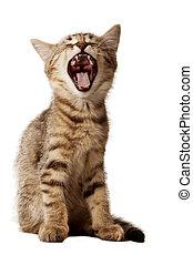 small kitten yawning - Small kitten with open mouth yawning....