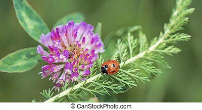 Small Ladybug on green leaf.