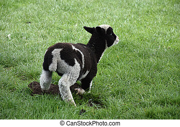 Small Lamb Getting Up from Resting in a Field