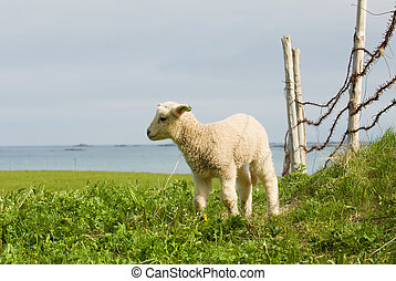 Small lamb in nature