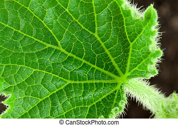 Small leafe of cucumber