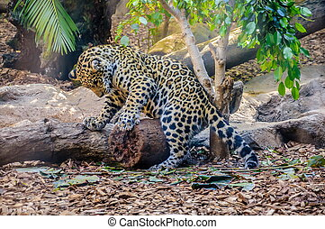 Small leopard child is playing in Loro Parque, Tenerife, Canary Islands.