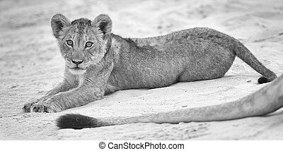 Small lion cub lay down to rest on soft Kalahari sand and play with mother's tail