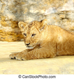 Small lion cub resting in the sun in captivity