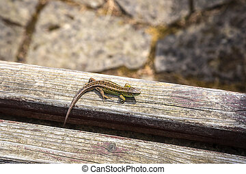 Small lizard basking in the sun on a wooden background in a...