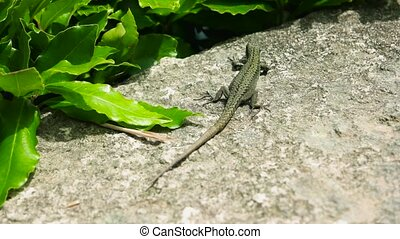 Small lizard close up. Lizard, green plant and stone. Types...