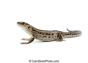lizard - Small lizard isolated on white