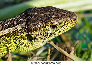 small lizard Lacerta agilis - macro of small garden lizard...