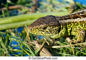 small lizard Lacerta agilis - macro of small garden lizard...