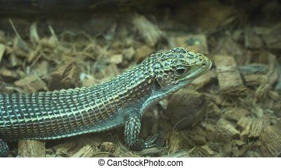 small lizard sitting on the ground. - Sudan plated...
