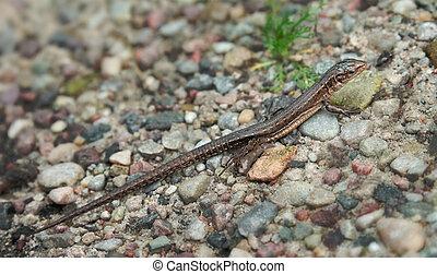 Small lizard walking on a gravel path - Small lizard...
