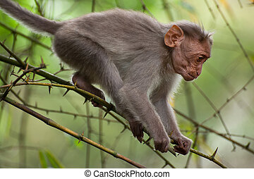 Small macaque monkey walking in bamboo forest. Animal in...